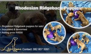 Rhodesian Ridgeback Puppy�s